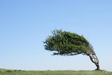 Tree bending in wind