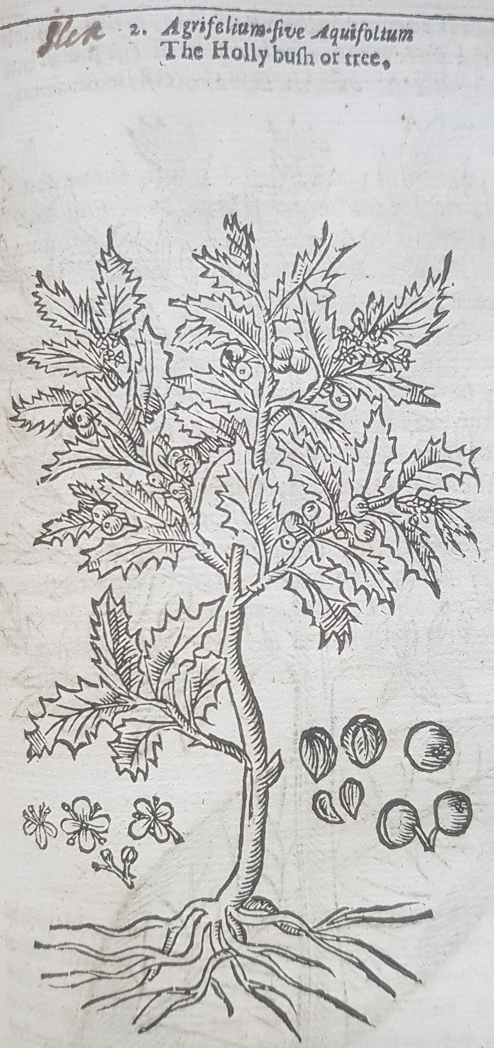 Line drawing of 'The Holly bush or tree'.