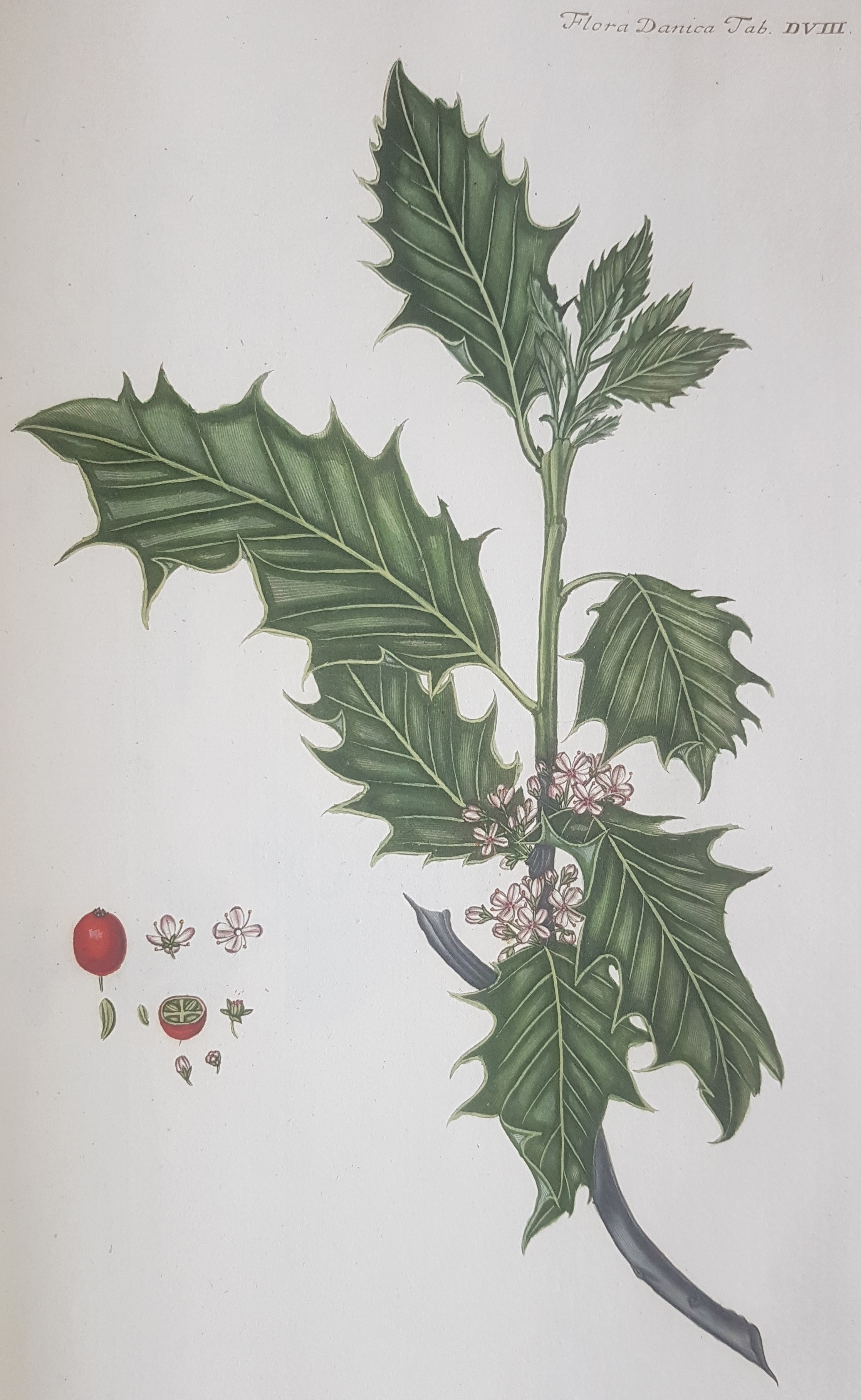 Holly illustration from the 'Flora Danica'.