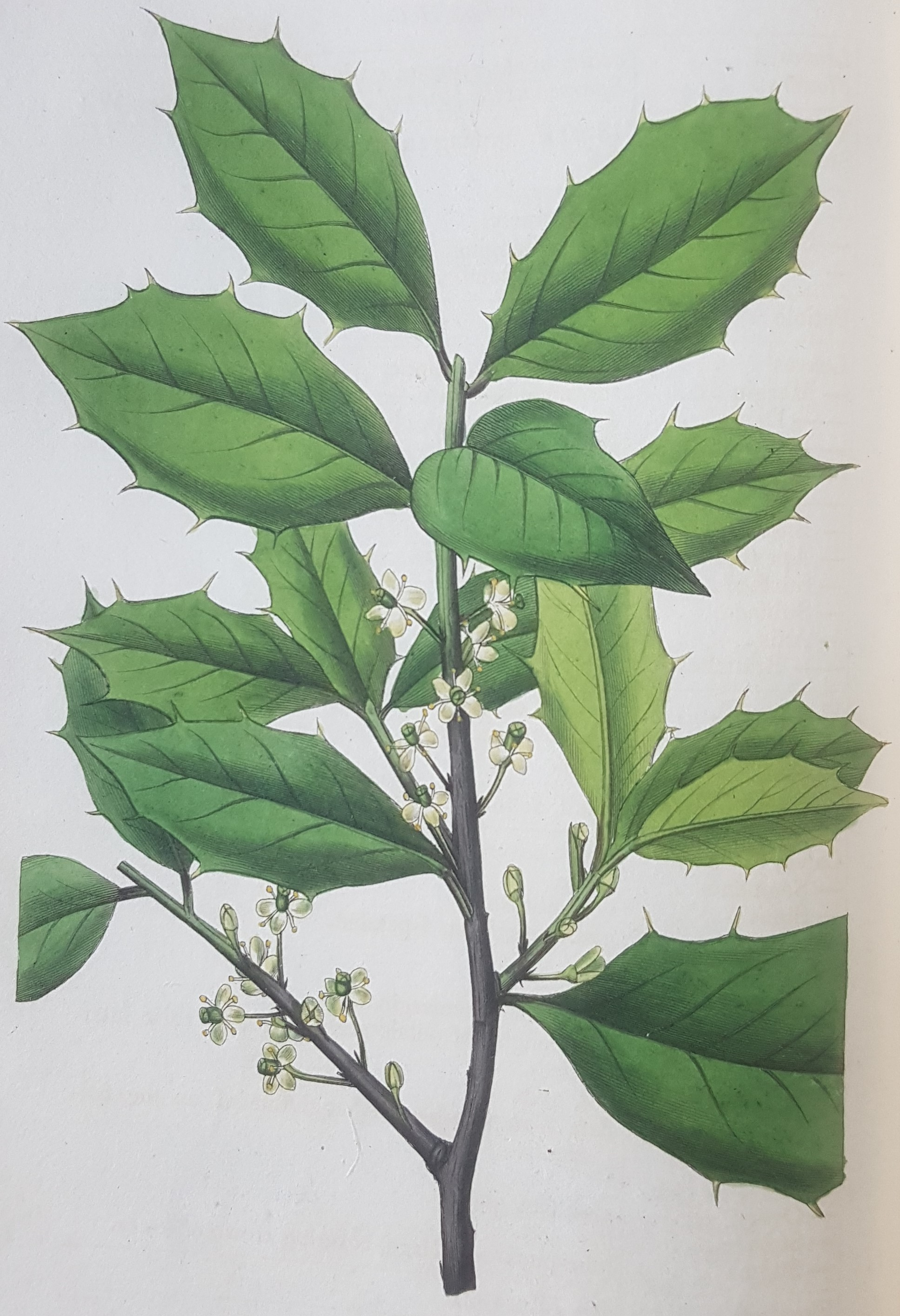 Holly illustration from 'Dendrologia Britannica'.