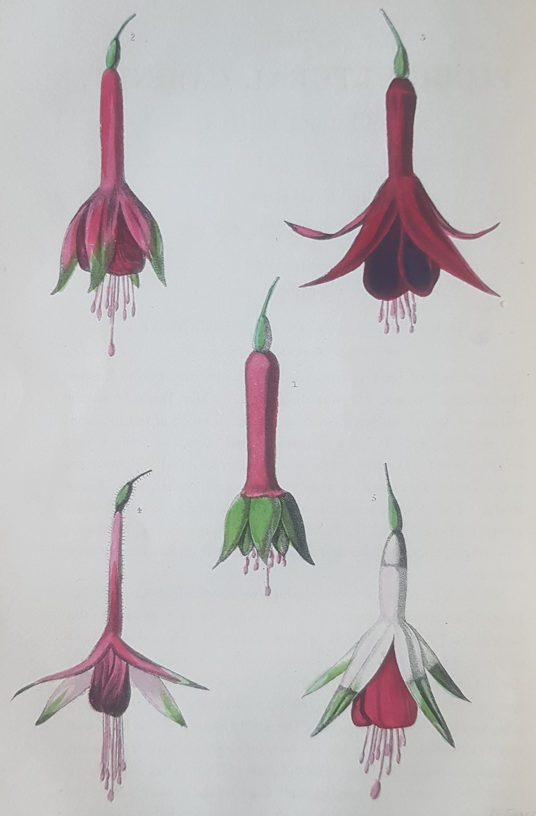 Botanical illustration from 'Floricultural cabinet and florists' magazine'.