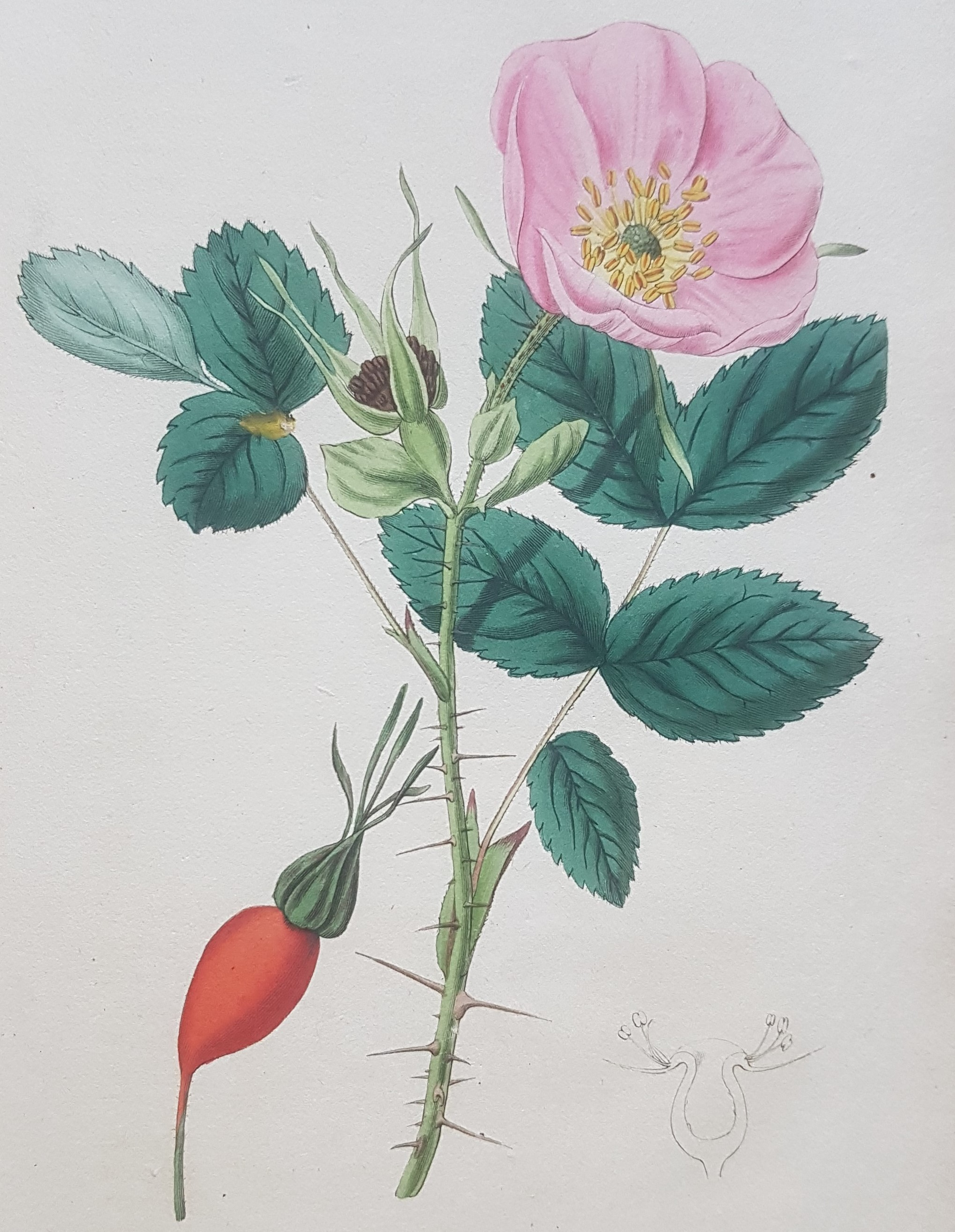 Rose illustration from 'Rosarum monographia'.