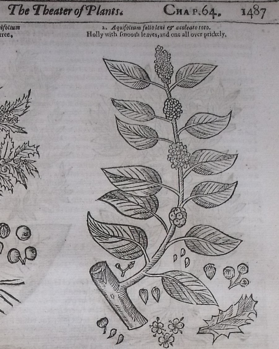 Line drawing of 'Holly with smooth leaves, and one all over prickely'.