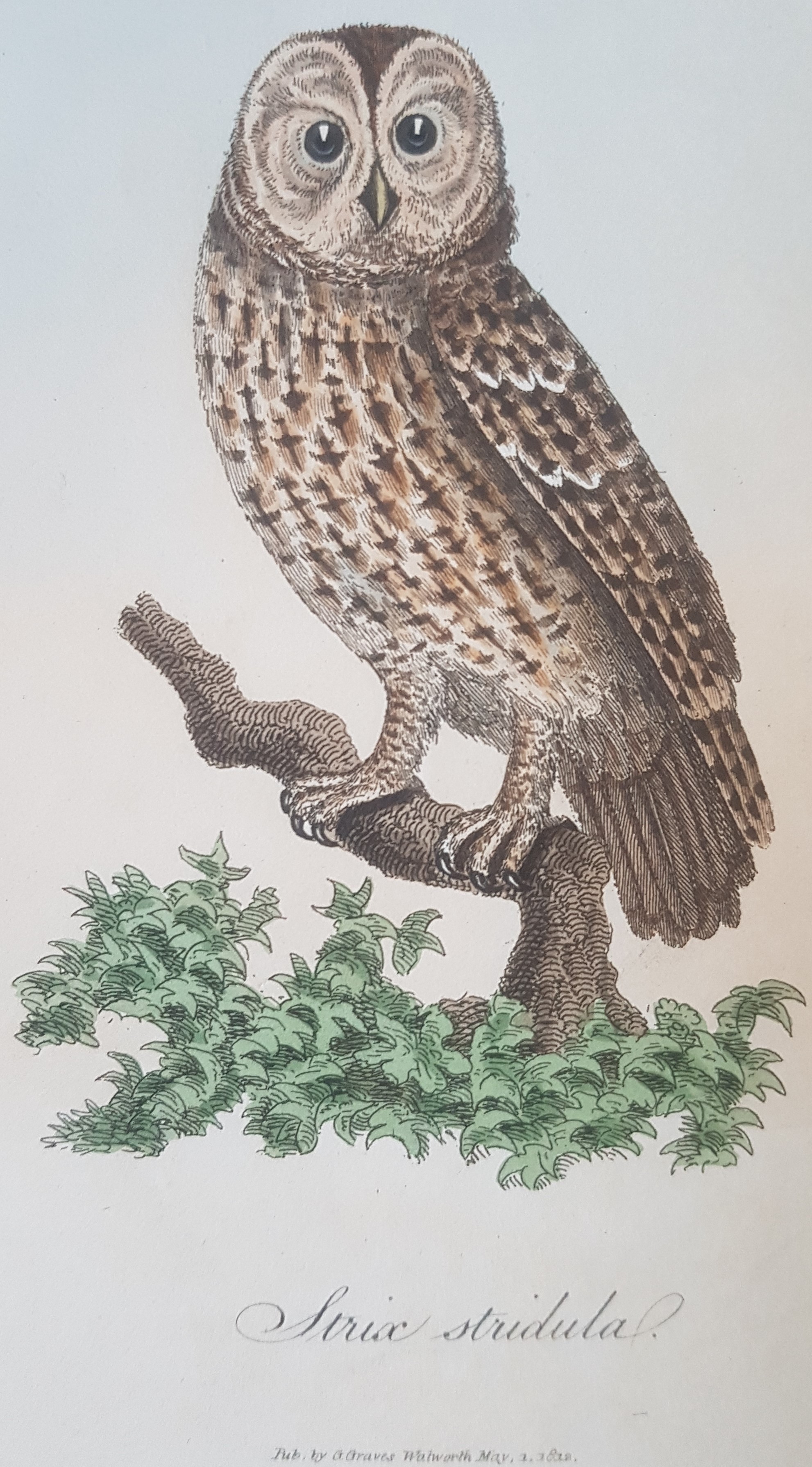 Illustration of a tawny owl.