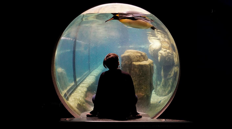 Kuvapankkikuva henkilöstä istumassa penkillä katsomassa uivaa pingviiniä pyöreän akvaarioikkunan takana.