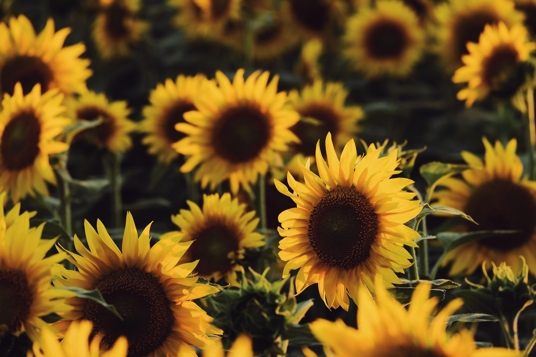 decorative image of sunflowers