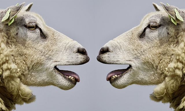 Two sheep facing each other with open mouths