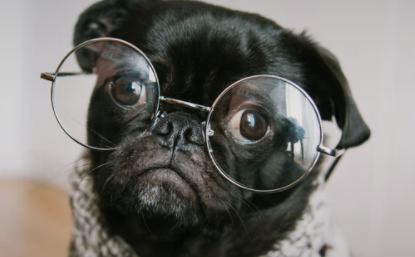 Pug wearing round glasses