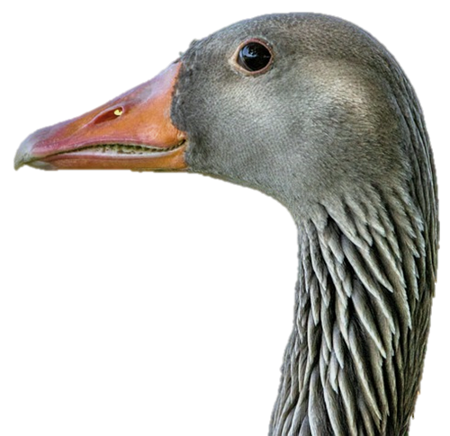 A greylag looking very friendly